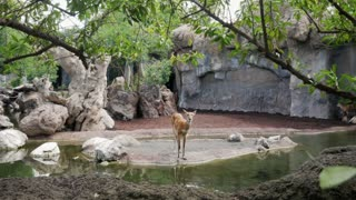 Deer Near Pond In Bioparc Of Valencia