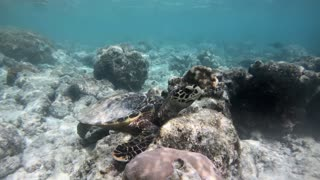 Hawksbill sea turtle (Eretmochelys imbricata), critically endangered marine reptile, eating underwater on coral reef in shallow waters. Maldives, Asia, Indian Ocean. Wild animal, wildlife