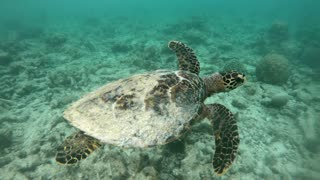 Hawksbill sea turtle (Eretmochelys imbricata), critically endangered marine reptile, swimming underwater on coral reefs in shallow water. Maldives, Asia, Indian Ocean. Wild animal, wildlife