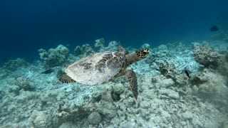 Hawksbill sea turtle (Eretmochelys imbricata), critically endangered marine reptile, swimming underwater on corals in shallow waters. Maldives, Asia, Indian Ocean. Wild animal, wildlife