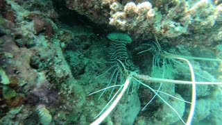 Lobsters hiding under coral reef. Marine life and corals in the Maldives, Indian Ocean