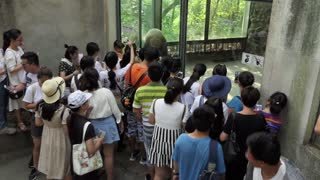People and tourists looking at a giant panda at Panda Base in Chengdu, China, Asia. Animal in zoo, zoological garden, rescue center