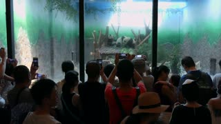 People and tourists taking pictures with smartphone at Chengdu Research Base of Giant Panda Breeding, or Panda Base, in Chengdu, China, Asia. Animal in zoo, zoological garden, rescue center
