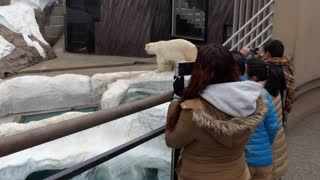 Polar bear at Ueno zoo in Tokyo, Japan, Asia. People and visitors taking pictures of wild animal in cage of Japanese zoological gardens