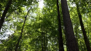 Pristine forest near downtown Jackson, Mississippi, United States with tall trees, branches, leaves. American natural landscape
