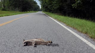 Road kill with raccoon killed by a car on the highway. Country road with dead animal in rural Mississippi, United States of America