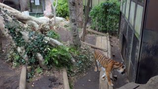 Tiger at Ueno zoo in Tokyo, Japan, Asia. Wild animal in cage of Japanese zoological garden