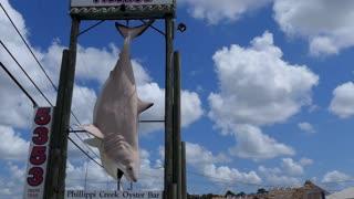 Trophy of great white shark caught in Phillippi Creek near Sarasota, Florida, USA on November 14th, 1998