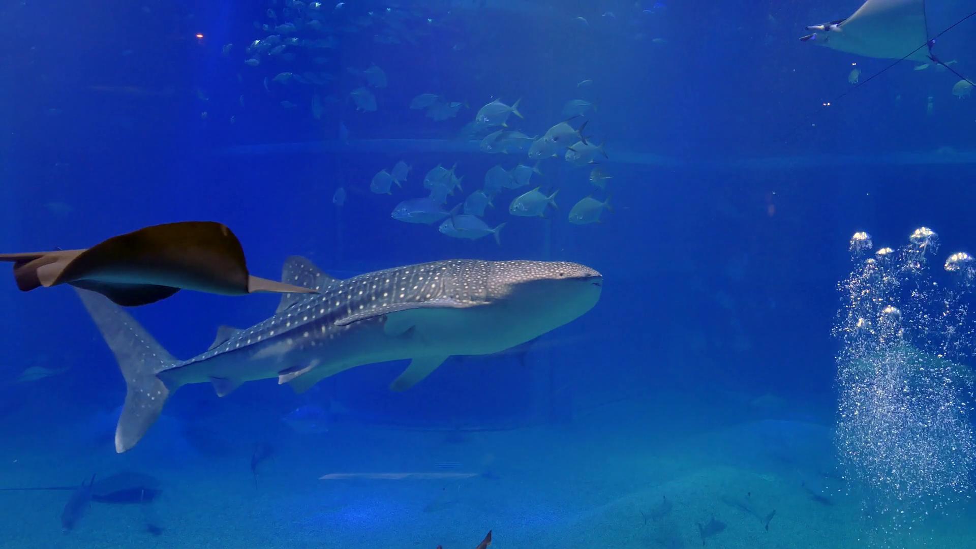 Whale shark, sharks, fish, stingrays, sea animals swimming ...