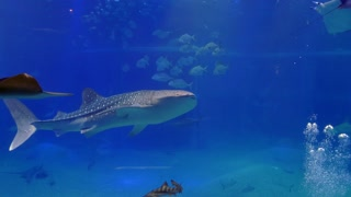 Whale shark, sharks, fish, stingrays, sea animals swimming in marine water tank, underwater life. Osaka Aquarium, Japan, Asia