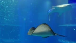 Whale shark, sharks, fish, stingrays, sea animals swimming in water tank, underwater life. People, tourist, child, boy at Osaka Aquarium, Japan, Asia