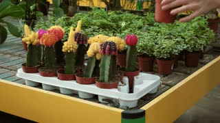Young person working as sales manager in floral shop, selling flowers, plants. Close-up of self-employed woman hands at work, touching cactus in flower store. Worker girl as small business owner