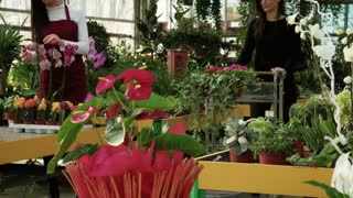 Young woman as customer shopping in florist shop, buying flowers for gardening. People in flower shop, client pushing cart. Happy buyer talking to sales manager in greenhouse, both smiling to camera