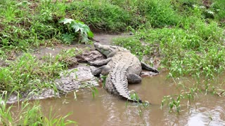 Wildlife Wild Animal Reptile American Crocodile Sleeping In Costa Rica