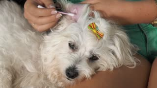 Woman Pet Owner Cleaning Ear To Dog With Cotton Wool