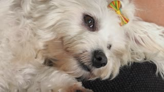 Woman Pet Owner Cleaning Ear To Small White Dog