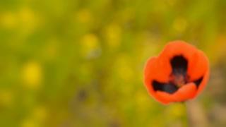 Blooming wild poppy macro