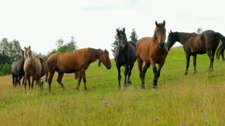 A herd of horses grazing on mountain pasture