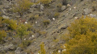 Sheep and goats graze on mountain meadows