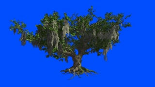A huge Live-Oak sway in the wind near sea Blue screen alpha.