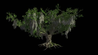 A huge Live-Oak sway in the wind near sea. Format MOV, codec png with alpha channel