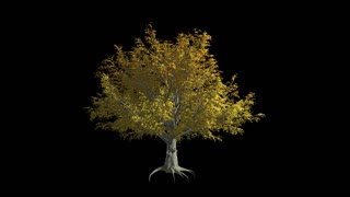 American Elm tree  in the wind Format MOV, codec png with alpha channel
