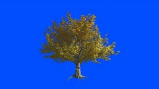 American Elm tree  in the wind.Blue screen alpha.