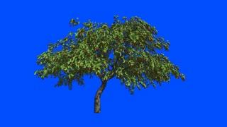 Cherry-cherries tree   in the wind.Blue screen alpha.