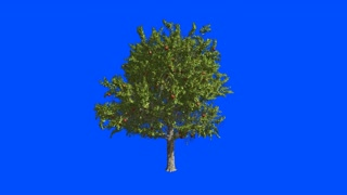 Fruit tree apple-tree. Blue screen alpha.