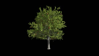 Fruit tree apple-tree. Format MOV, codec png with alpha channel