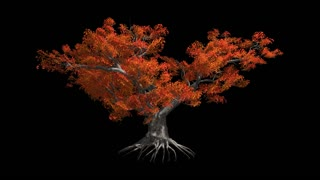 Japanese Maple tree   in the wind Format MOV, codec png with alpha channel