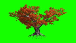 Japanese Maple  tree   in the wind.Green screen alpha.