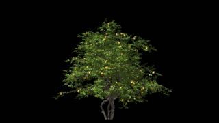 Lemon tree in the wind Format MOV, codec png with alpha channel