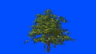 Lemon tree in the wind.Blue screen alpha.
