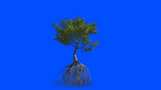 Mangrove with roots. Animation 3d. Blue screen alpha.