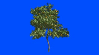 Orange tree in the wind.Blue screen alpha.