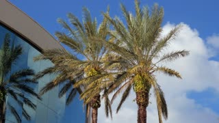 Palm trees near the office building and clouds, business    The wind blows branches of a palm tree and clouds
