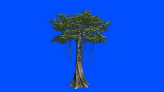 The huge tree Kapok. Blue screen alpha.