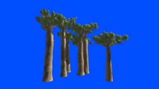 Trees of Baobab in Madagascar on the wind. Blue screen alpha.