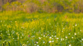 Wild flowers on a background of green grass(camera slider)