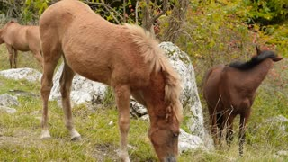 Wild horses graze in the mountains