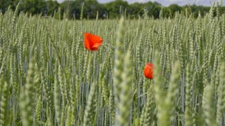 The red flower on the field of a wheat. Animal view. Slow motion capture