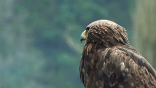 Eagles sit and watchfully observe landscape