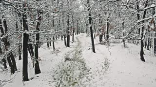 Snowy footpath in forest with snowy trees