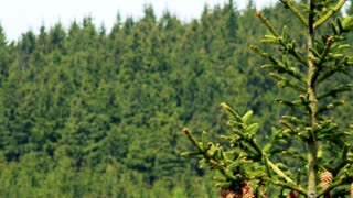 Coniferous branches with cones - blurry forest in the background