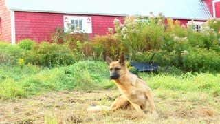 Alsatian chasing her tail by red barn