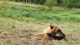 Alsatian chasing her tail and rolling out of shot