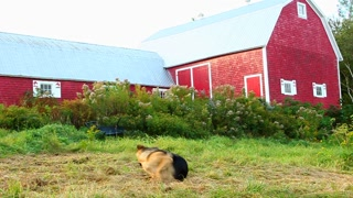 Alsatian chasing her tail by red barn (wide shot)