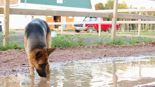Alsatian licking a puddle on Canadian farm