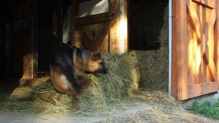 Dog chases her tail in barn